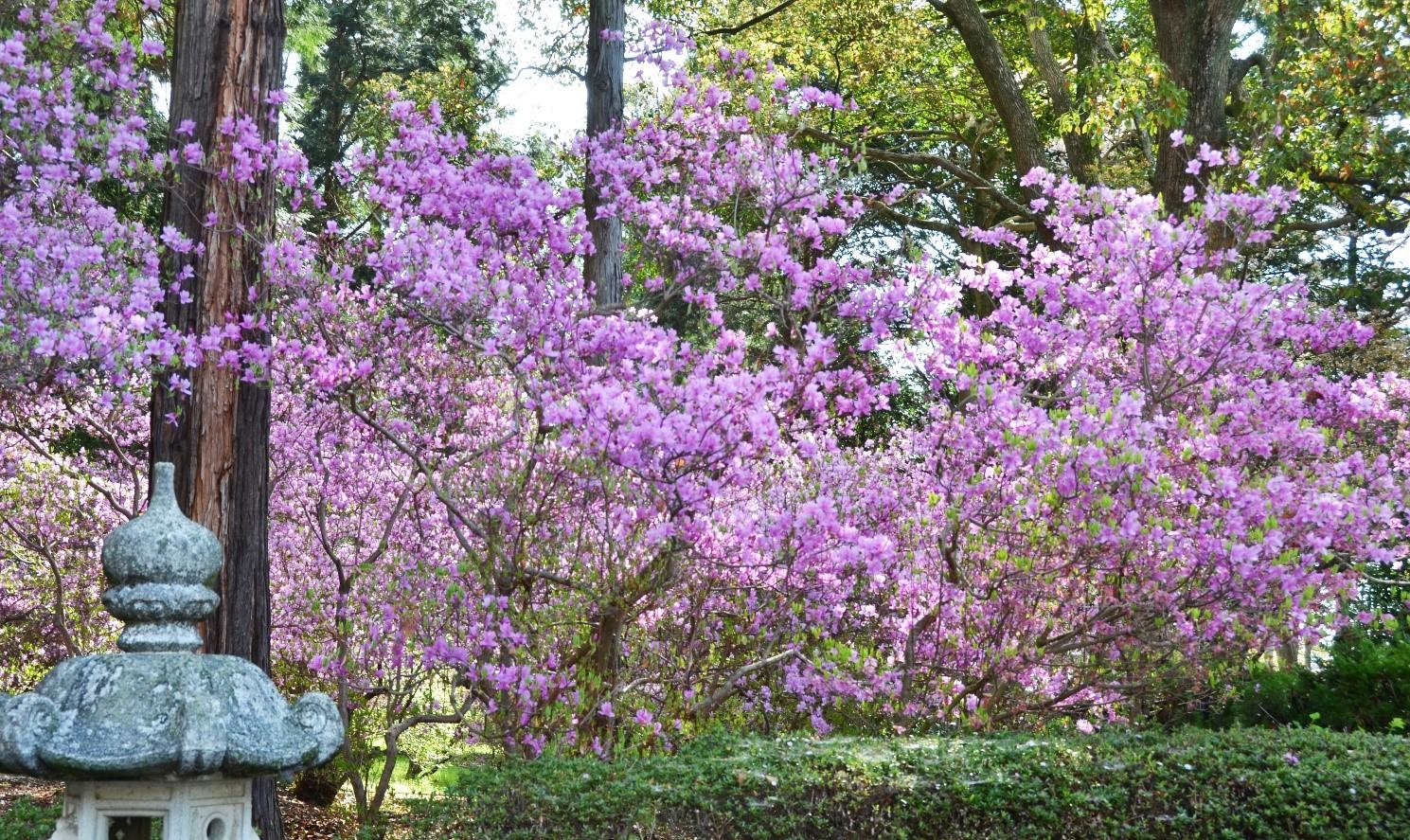 鈴鹿市の伊奈冨(いのう)神社の境内に咲く小葉の三つ葉つつじ