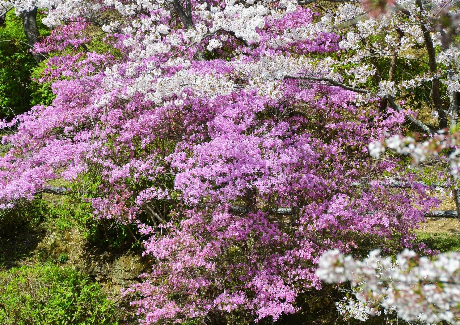 桜と新緑と三つ葉つつじ(津偕楽公園)