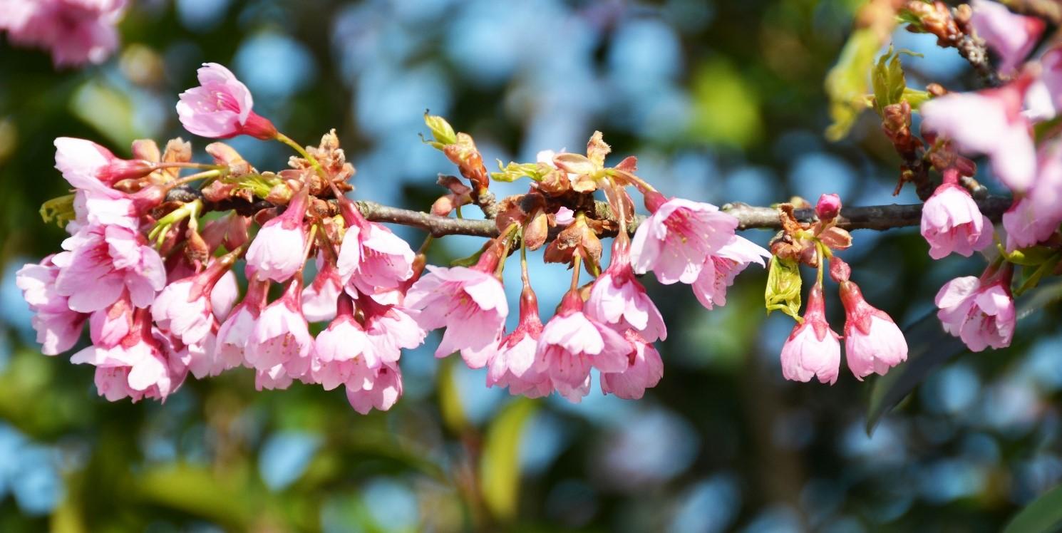 が 桜の たよ 咲き 花 の ぺんぺん草 まし ぺんぺん草の庭のチューリップとホスタ